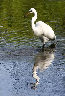 Photograph - Stalking Egret by Christopher Kirby