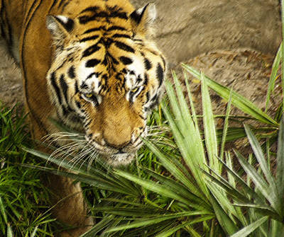 Photograph - Stalking Tiger by Carolyn Marshall