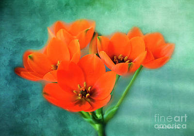 Star Of Bethlehem Art Print by Jutta Maria Pusl