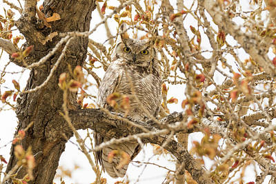 Photograph - Staring Great Horned Owl by Tony Hake