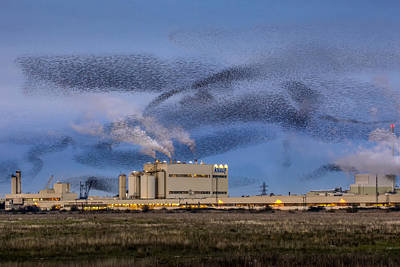 Starlings Wall Art - Photograph - Starling Mumuration by Ian Hufton