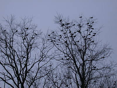 Photograph - Starlings by Aggy Duveen