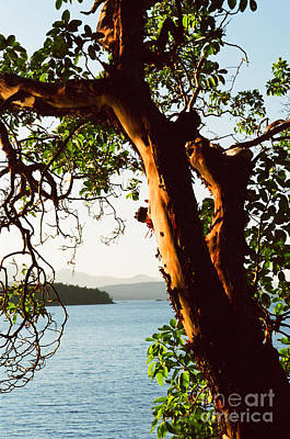 Photograph - Stately Arbutus by Frank Townsley