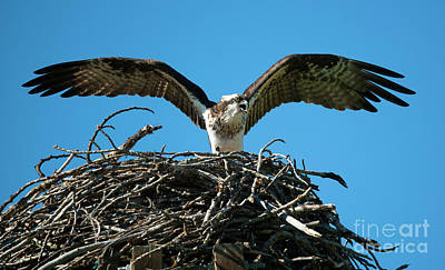Osprey Photograph - Stay Away by Mike Dawson