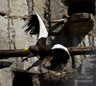 Photograph - Steller's Sea Eagle by Irina Afonskaya