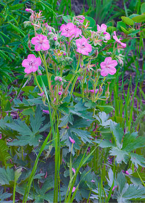 Photograph - Sticky Geranium - Wildlfowers Glacier National Park by Ram Vasudev
