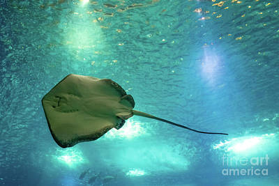 Photograph - Sting Ray Underwater by Benny Marty