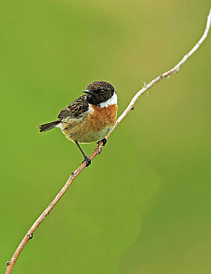 Photograph - Stonechat by Paul Scoullar
