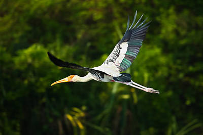 Stork Photograph - Stork In Flight by Nila Newsom