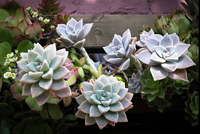 Photograph - Succulents by Catherine Lau