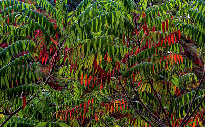 Photograph - Sumac by Robert Ullmann