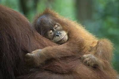 Sumatran Orangutan Pongo Abelii Two Print by Suzi Eszterhas