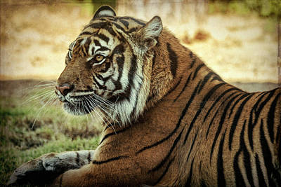 Photograph - Sumatran Tiger Portrait  by Saija Lehtonen
