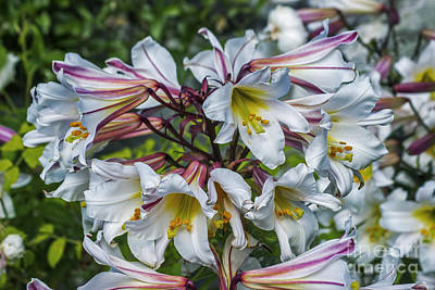 Photograph - Summer Lilies by Ian Mitchell