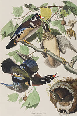 Duck Drawing - Summer Or Wood Duck by John James Audubon