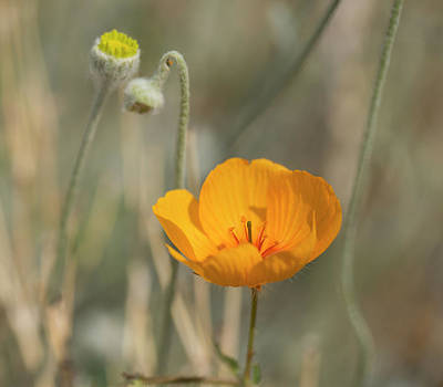 Photograph - Summer Poppy by Sue Cullumber