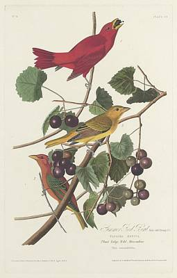 Audubon Drawing - Summer Red Bird by Dreyer Wildlife Print Collections