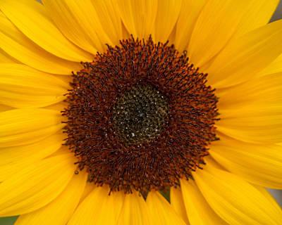 Photograph - Summer Sunflower by Brenda Jacobs