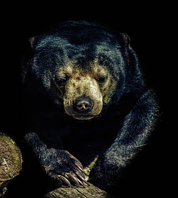 Deforestation Photograph - Sun Bear by Martin Newman