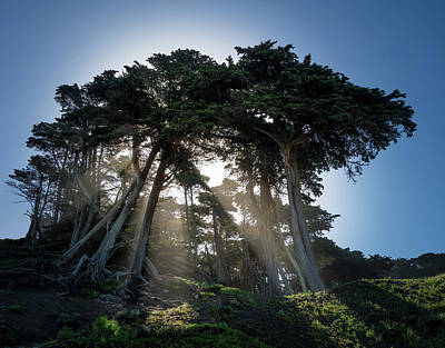 Sunbeams From Large Pine Or Fir Trees On Coast Of San Francisco  Art Print by Steven Heap
