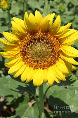Sunflowers Royalty-Free and Rights-Managed Images - Sunflower 09 by Amanda Barcon