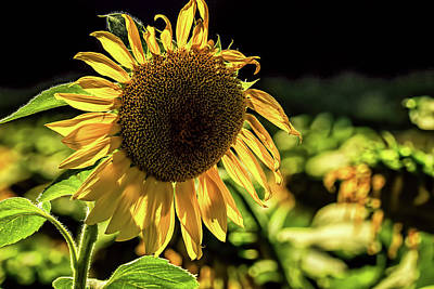 Photograph - Sunflower 1 by Elijah Knight