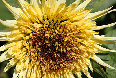 Photograph - Sunflower 100 by Mary Bedy