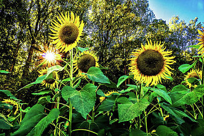 Photograph - Sunflower 2 by Elijah Knight