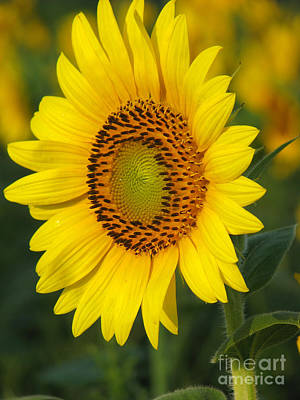 Floral Royalty-Free and Rights-Managed Images - Sunflower by Amanda Barcon