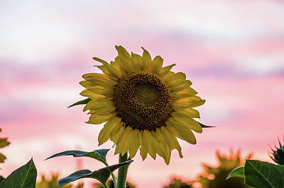 Photograph - Sunflower At Sunset by Ray Sheley