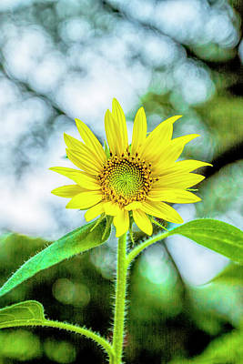 Photograph - Sunflower Bokeh by Kay Brewer