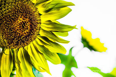 Photograph - Sunflower Buddies by Michael Arend