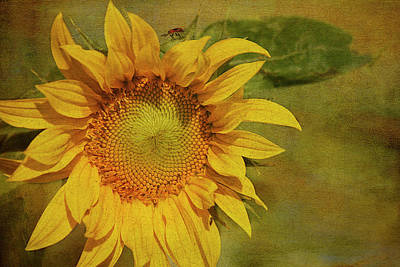 Flower Wall Art - Photograph - Sunflower by Cindi Ressler