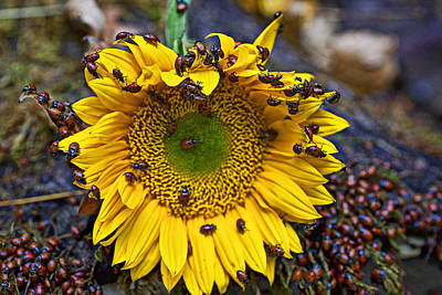 Sunflower Covered In Ladybugs Print by Garry Gay