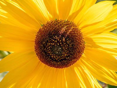 Photograph - Sunflower by Derek Dean