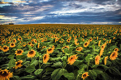 Sunflower Farm Art Print
