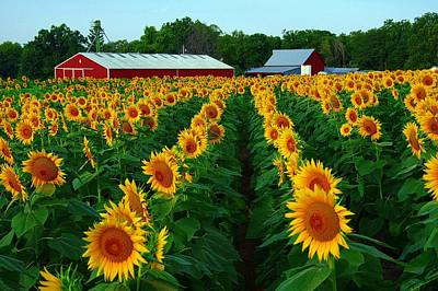 Sunflower Field #4 Art Print