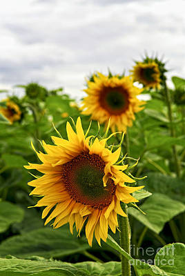Florals Photos - Sunflower field by Elena Elisseeva