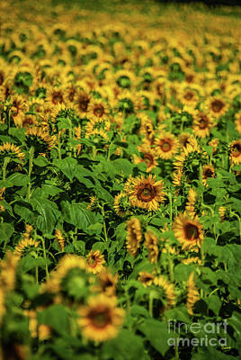 Photograph - Sunflower Field 2 by Pamela Williams