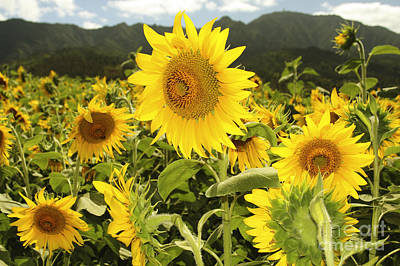 Photograph - Sunflower Field by Vince Cavataio - Printscapes
