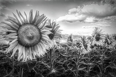 Photograph -  Sunflower Fields In Black And White by Debra and Dave Vanderlaan
