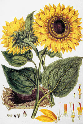 Photograph - Sunflower by Granger