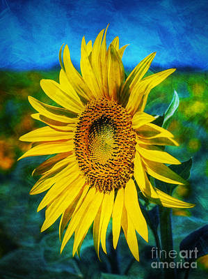 Sunflowers Royalty-Free and Rights-Managed Images - Sunflower by Ian Mitchell
