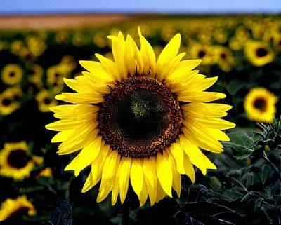 Photograph - Sunflower by John Foote