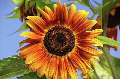 Lucille Ball - Sunflower by Karla Corbin
