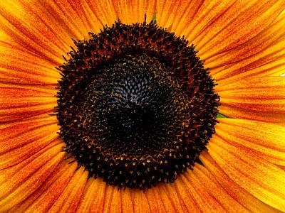 Sunflower Art Print by Martin Morehead