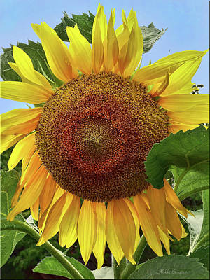 Photograph - Sunflower by Mikki Cucuzzo
