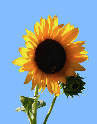 Sunflowers Photograph - Sunflower by Philip Ralley