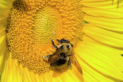 Photograph - Sunflower Pollinator by Kathy Clark