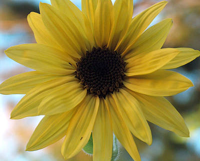 Katharine Hepburn - Sunflower by Racquel Morgan